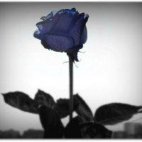 Синяя Роза :: Екатерина Аматова