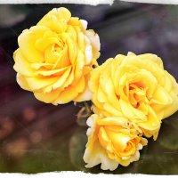 Розы в саду :: Алёна Жила
