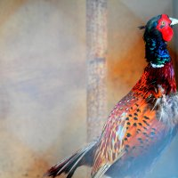 Златый фазан :) :: Alisa Kolesova