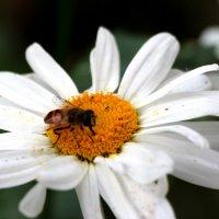 пчелка на ромашке :: Дмитрий Тараченко