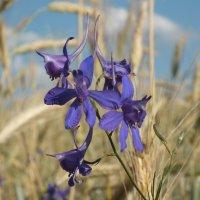 Цветы полевые :: Константин Миксманн