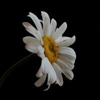 Одинокая ромашка........ :: Марина Павлова
