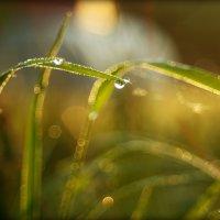Травы луговые в утренней росе... :: Елена Kазак