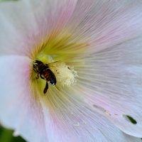 Пчёлка :: Анастасия Е