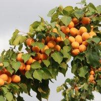 урожай абрикосовый :: васек задунайский