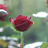 Роза :: annett Шерстяных