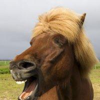 Обхохочешься над вами!!!  (Исландские лошади) :: Олег Неугодников