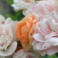 Розы :: Светлана Тишкова