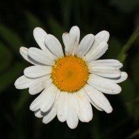 ромашка :: Наталья Золотых-Сибирская