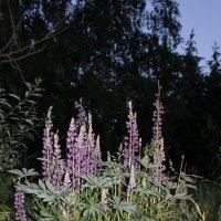 цветы в лесопарке :: Наталья Золотых-Сибирская