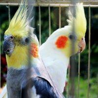 Попугаи :: Анастасия Хорошилова