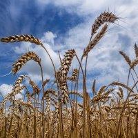 Пшеница. Кубань. :: Георгий Розов