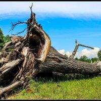 Поваленное дерево :: Eugene Shulgin