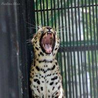Зевающий Леопард. :: Алиса Павлова
