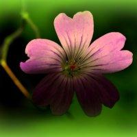 цветик :: Павел Рубан