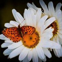 бабочка :: Jack Walters