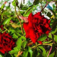 розы :: Jack Walters
