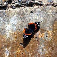 Бабочка :: Дмитрий Тараченко