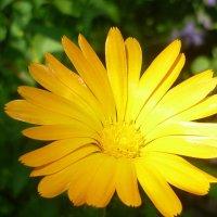 Цветок солнца :: юрий Амосов