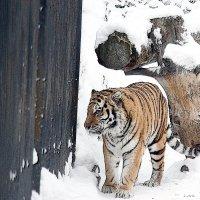 Tiger :: Аркадий