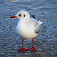 Чайки на море - озёрная чайка :: Маргарита Батырева