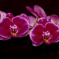 Орхидея :: Михаил Измайлов