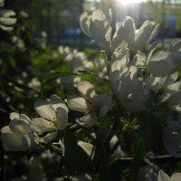 когда яблони цветут :: Александр Попков