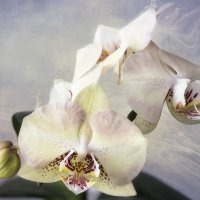 Орхидея фаленопсис Элегантная Дама :: Ирина Приходько