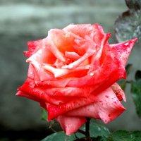 Роза под майским дождём... :: Тамара (st.tamara)