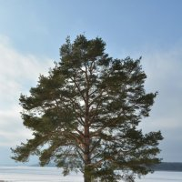 На севере диком :: Светлана Ларионова