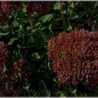 Седум в начале цветения :: Нина Корешкова