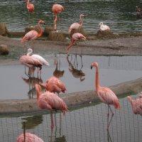 Фламинго :: Марина Домосилецкая