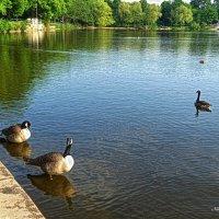 Казарки на озере :: Nina Yudicheva