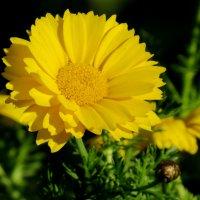 Я обожаю жёлтые цветы... :: Светлана