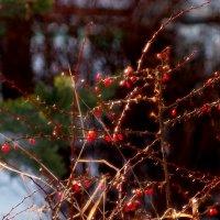 барбарис в свете зимнего солнца :: Александр Прокудин