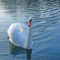 .. a лебеди как добрый сердца свет Согреют нас унылою порою... :: Galina Dzubina