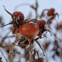 Яркие ягоды на фоне зимы-ни ветра,ни морозы им не страшны... :: Paparazzi