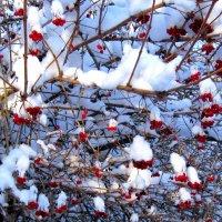 калина со свежим снегом... :: Галина Филоросс