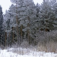 заиндевелый лес :: оксана