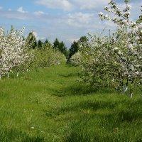 Сибирский яблоневый сад в цвету :: Екатерина Торганская