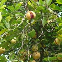 Nutmeg tree :: ~ Backstage ~ N.