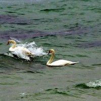 """""""морские"""" лебеди :: Александр Корчемный"""