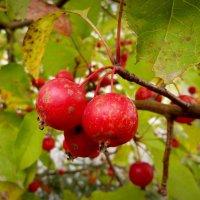 осенние райские яблоки :: Александр Прокудин