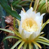 Цветёт кактус эпифиллум :: Герович Лилия