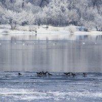 Вороны на льдине. :: Svetlana