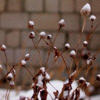 останки осенних цветов 1 :: Александр Прокудин