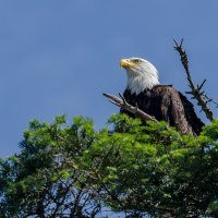 Bald Eagle (Белоголовый орлан) :: Alena Nuke