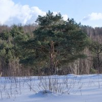 Пейзаж с сосной. :: Владимир Безбородов