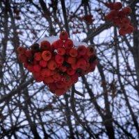 зимняя ягода :: Алена Засовина