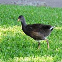 Australian Hen :: чудинова ольга